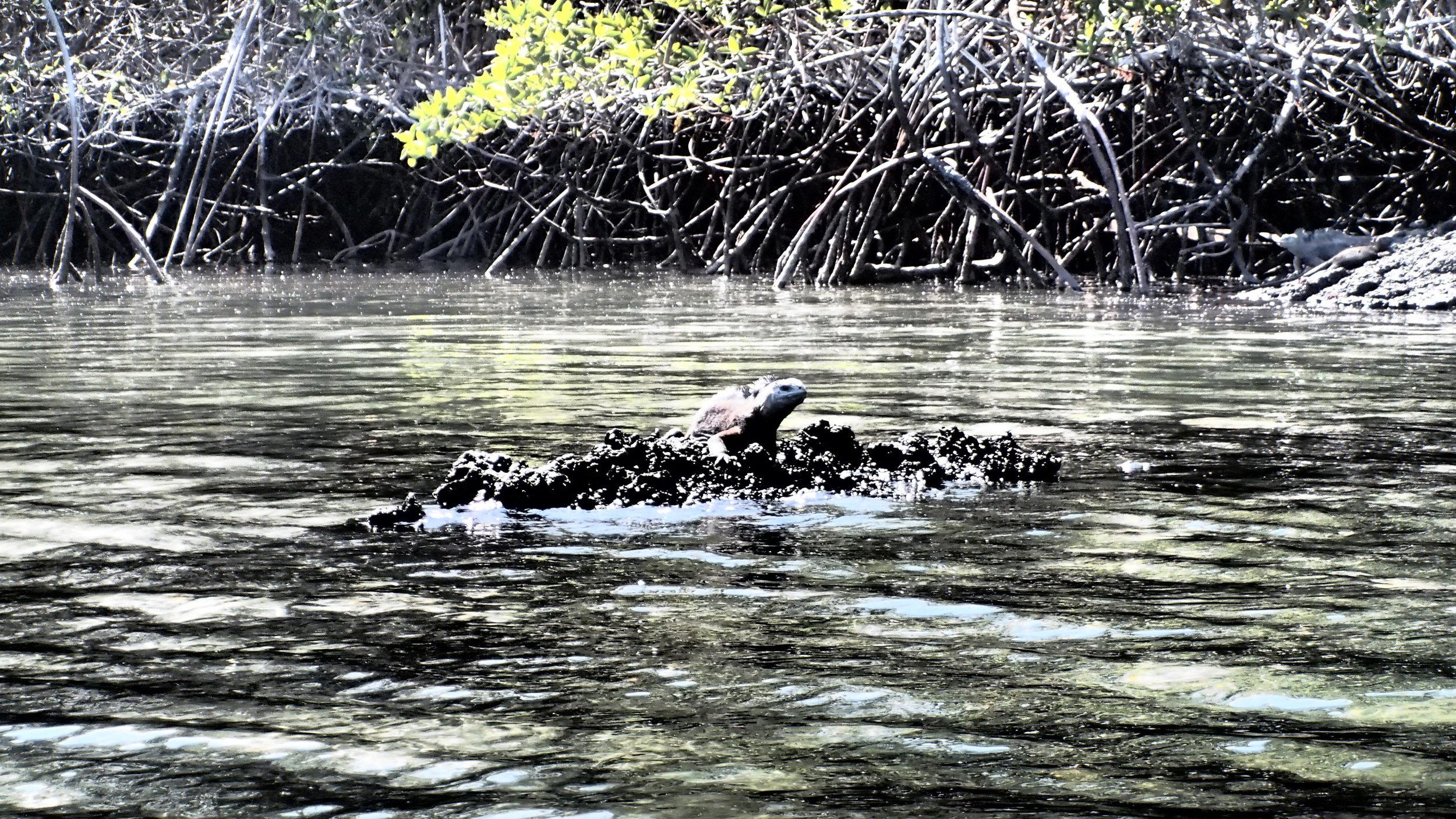 Marine iguana, Floreana Island, The galapagos