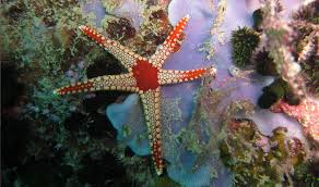 Nikoi-Island-Indonesia-starfish.jpg