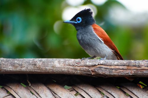 Chumbe-Island-Tanzania-african_paradise_flycatcher_1_Jimmy_Livefjord-500w.jpg