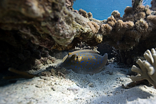 Blue Spotted Stingray