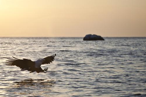 Malawi Mumbo Island fish eagle