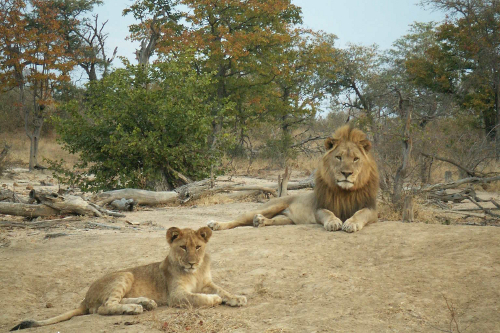 a privilege to watch guys day in day out: Dominant lion Inkanya & cub, south africa