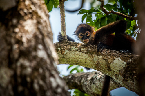 Lapa-Rios-Costa-Rica-Spider-Monkey-13042013-_MG_1781-500x333.jpg