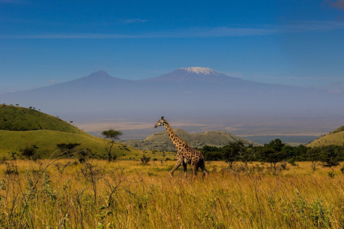 Giraffe in front of Mount Kilimanjaro