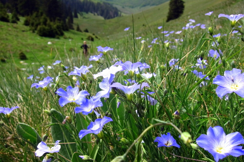 Flowers - Velebit mountain meadow, Croatia