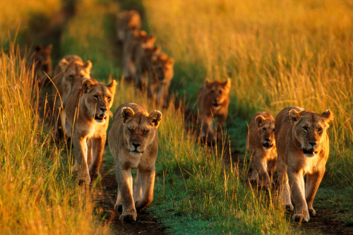 Lioness-led groups typically coordinat hunting for more successful predation