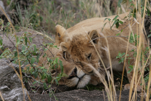 Lions are 'Vulnerable' as a species to extinction on the IUCN Red List