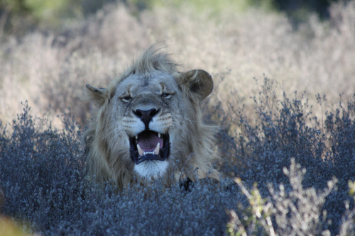 Earth-Changers Lion - South Africa ©Vicky Smith