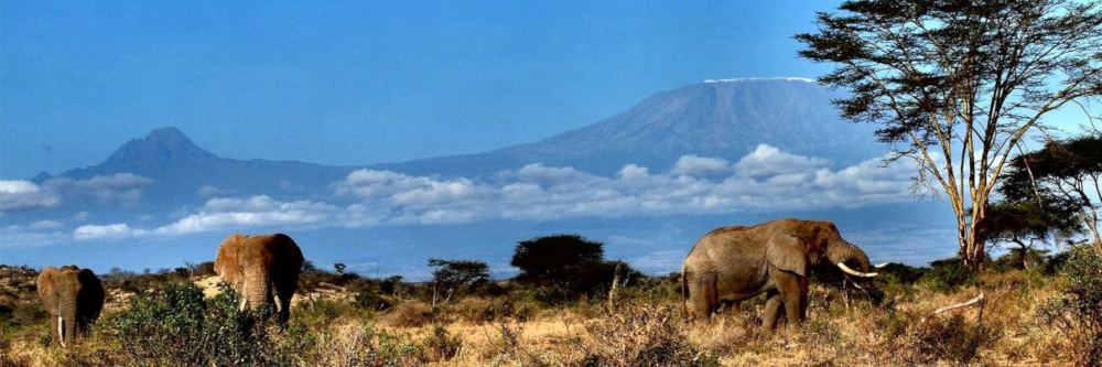 African elephants in Kenya at the foot of Mount Kilimanjaro
