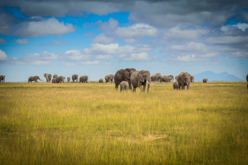 African elephant matriarchal fission herd