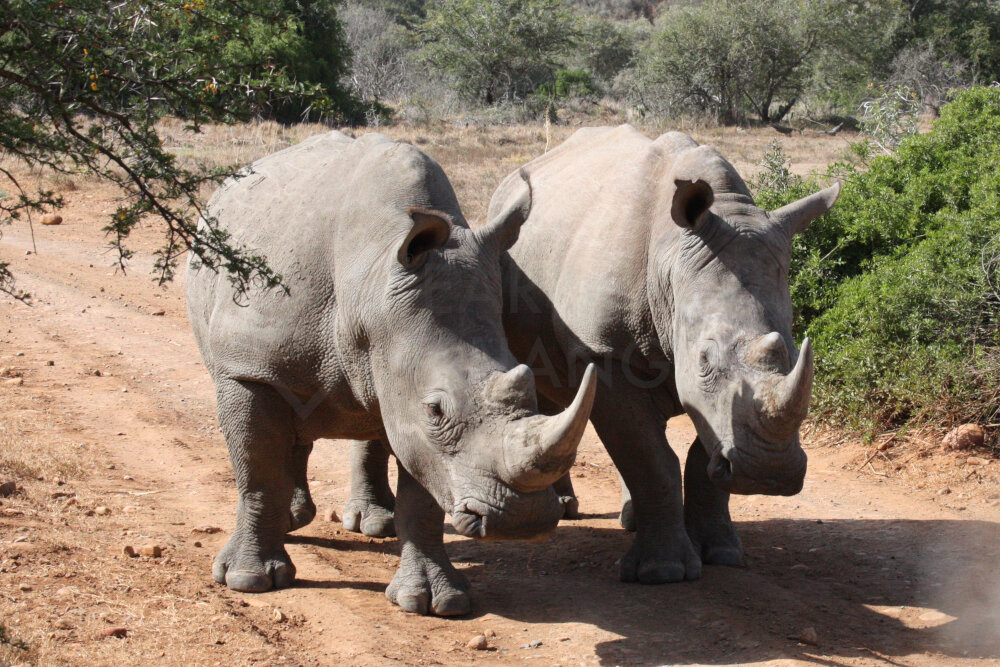 "White Rhino - See why they are called ""Square Lipped"""