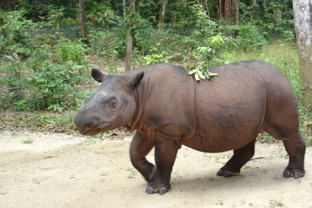 Sumatran Rhino - By 26Isabella - Own work, CC BY-SA 3.0 https://commons.wikimedia.org/w/index.php?curid=31167009