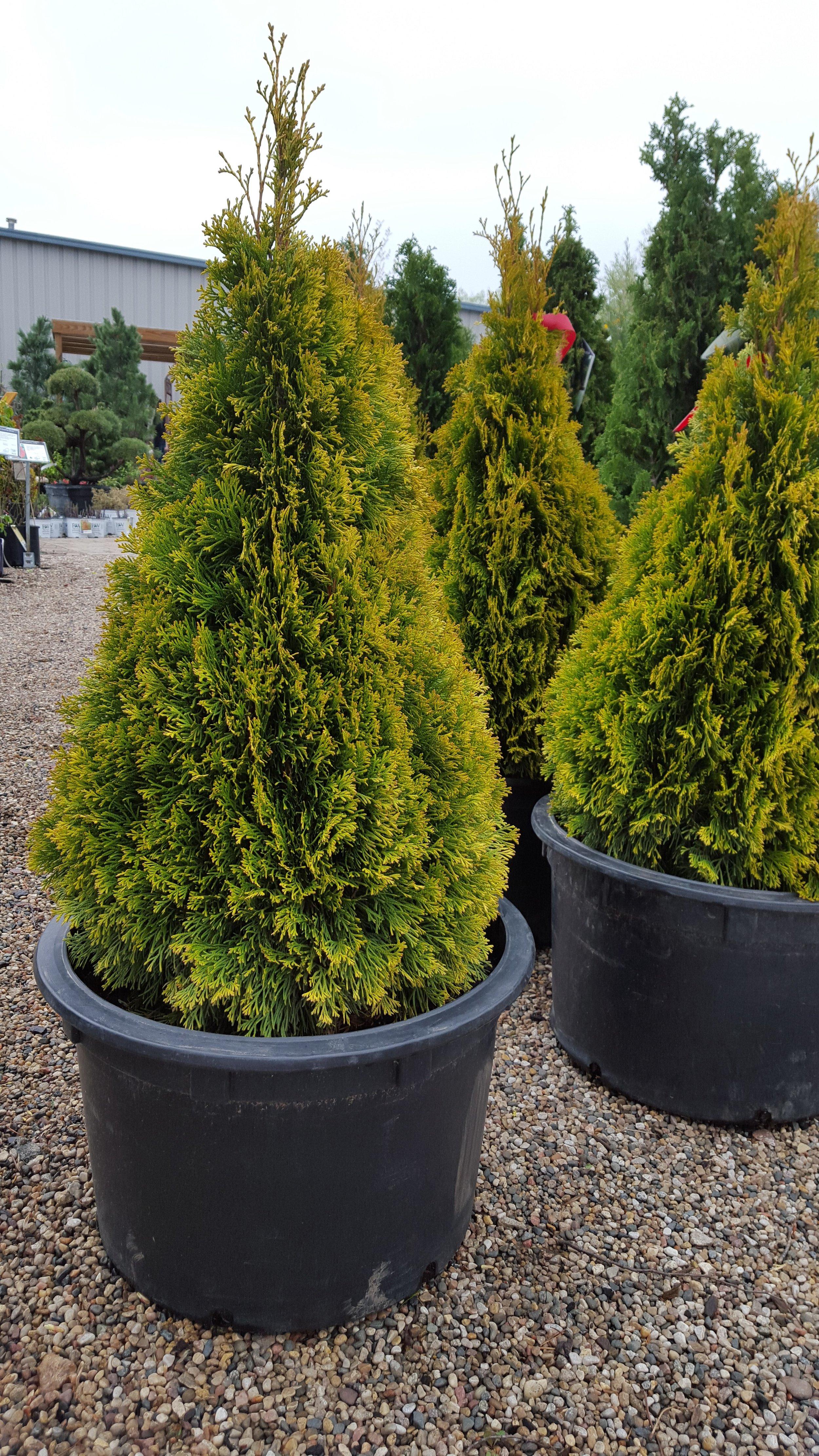 Ornamental Evergreens -