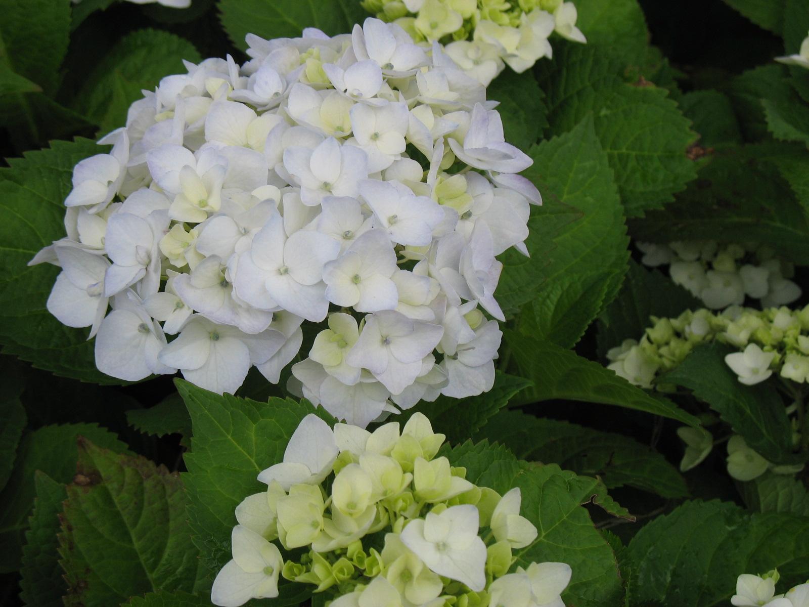 Shade shrubs -