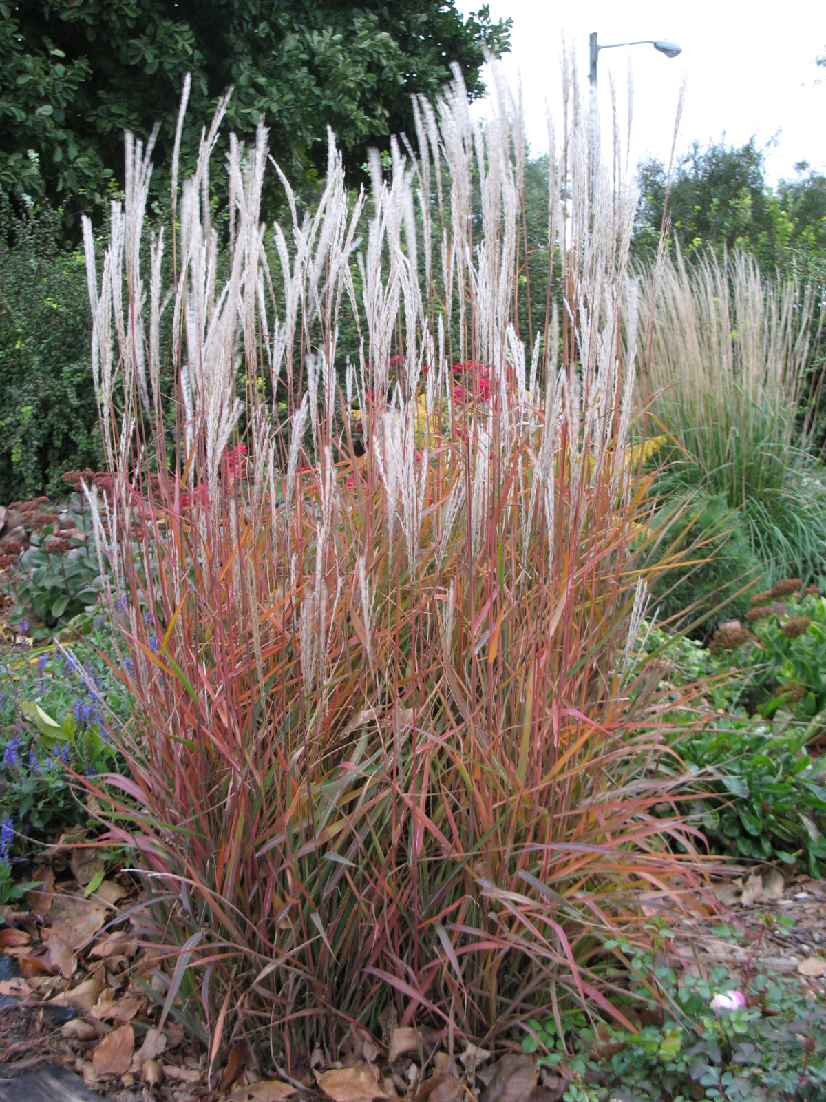 Flame Miscanthus