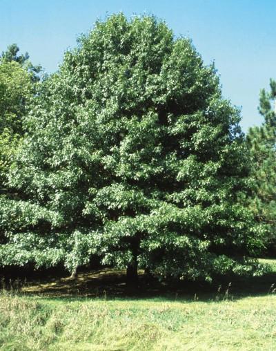 Northern Pin Oak