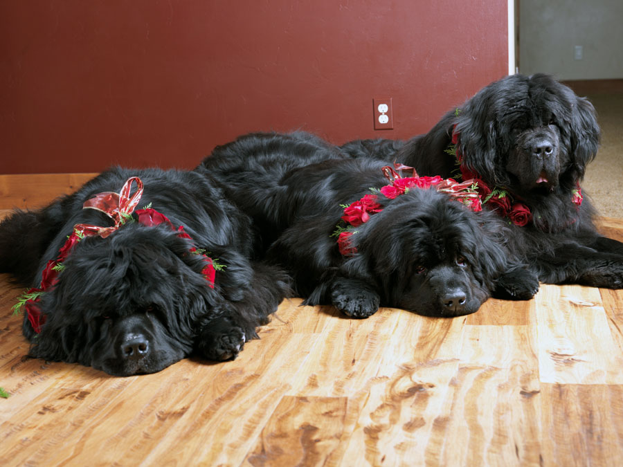 Newf Dogs on a Raw Pet Food Diet by Love Your Pet in Park City