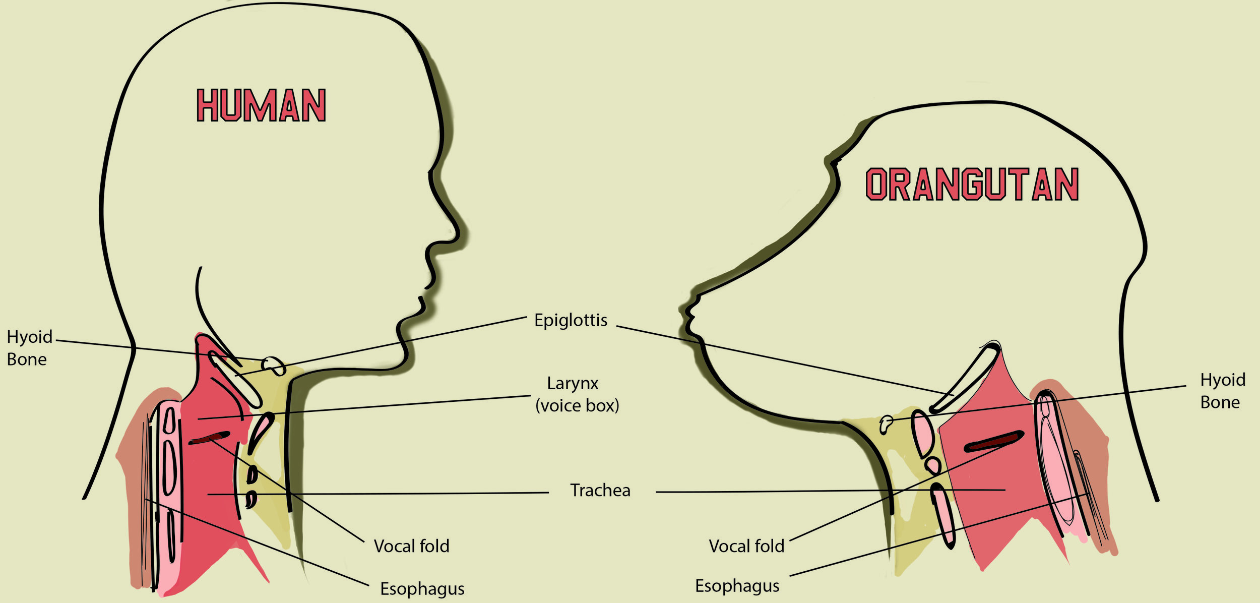 Illustration graphic comparing the vocal cords of Humans and Orangutans.