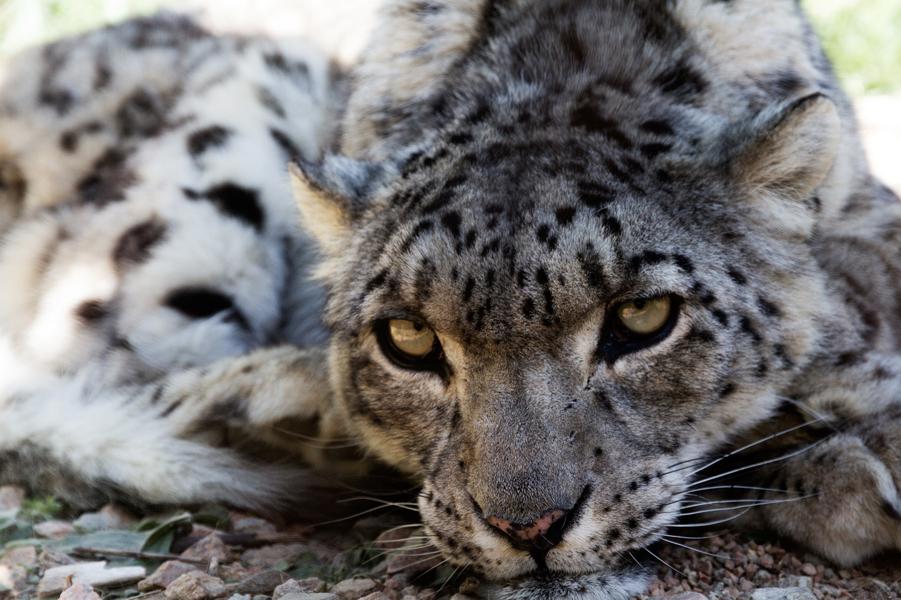 6. Homeland to Snow Leopard