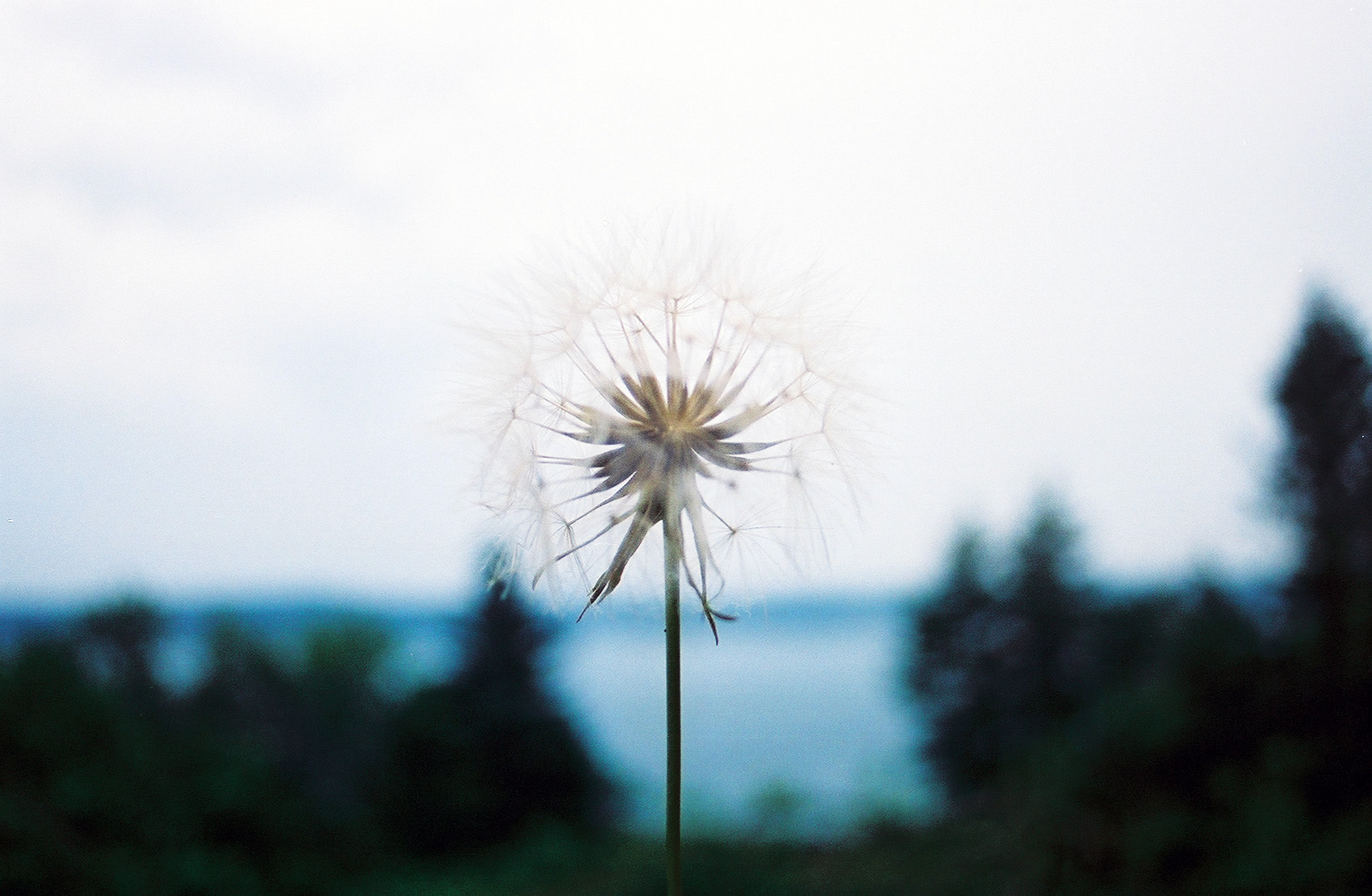 11.Dandelion Blue.jpg