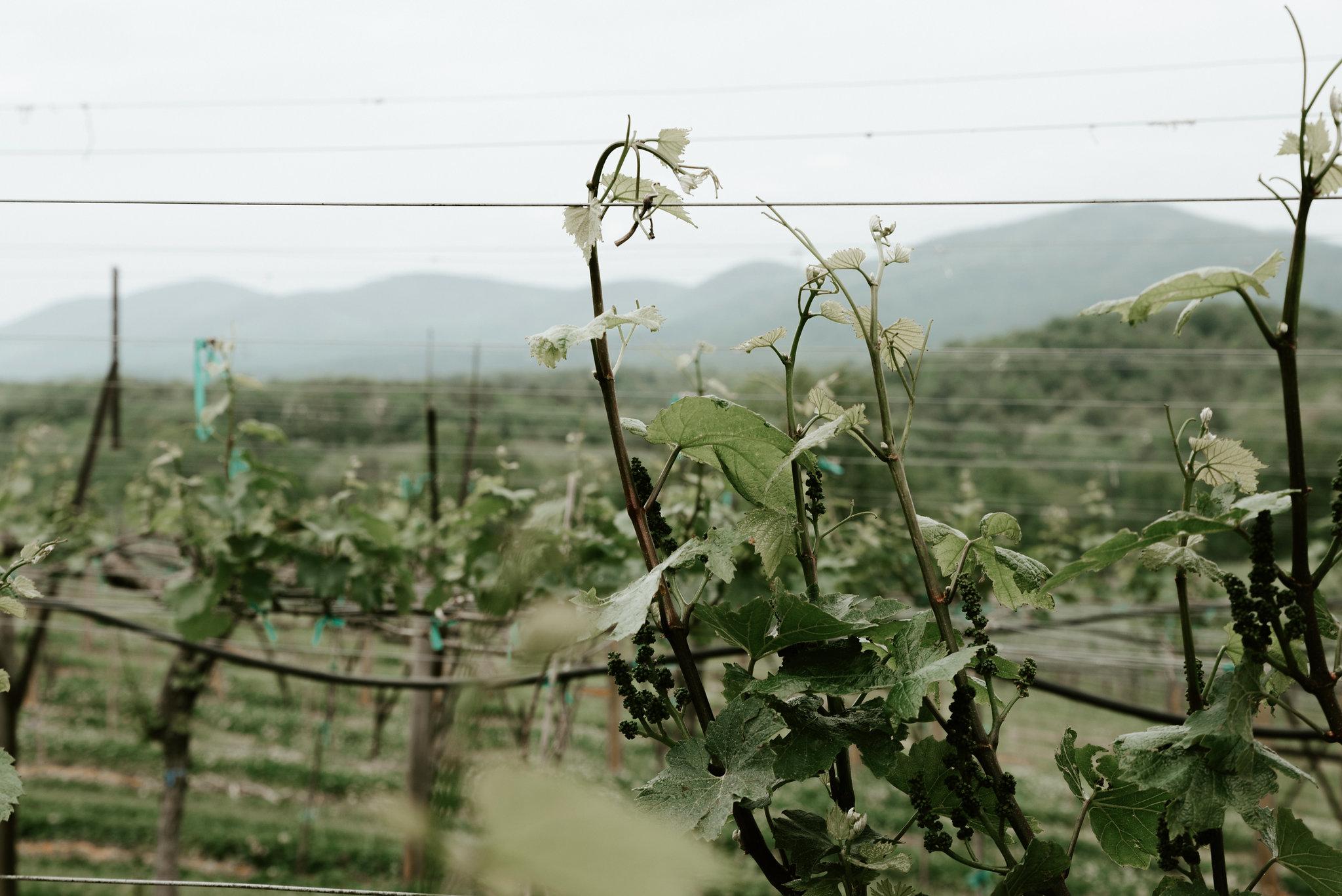 Vineyard7.jpg