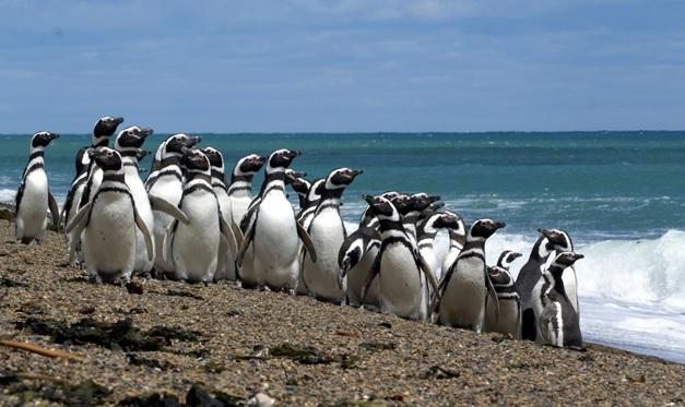 Por qué los pingüinos de Punta Tombo están estresados? — Tiempo Patagónico