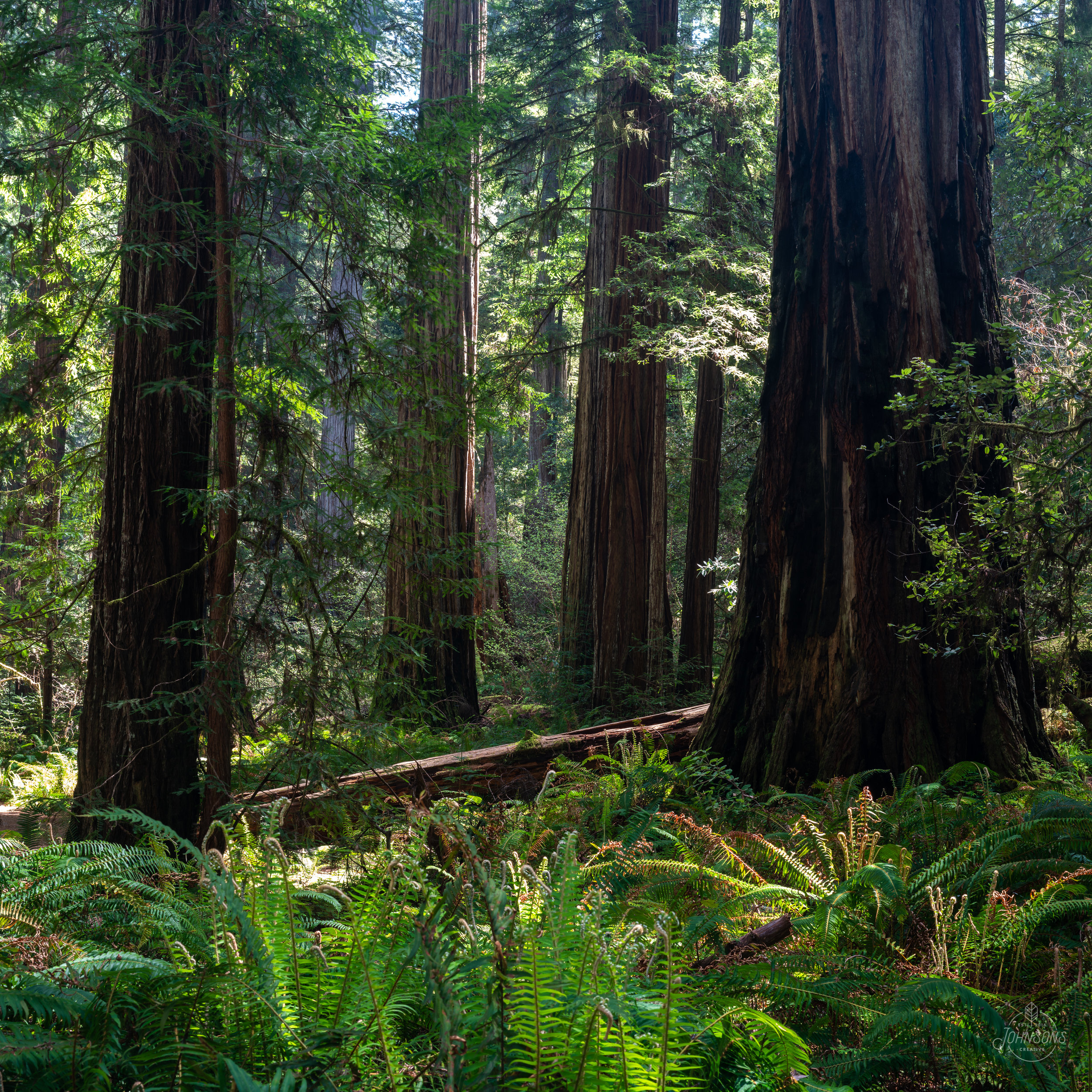 redwoods_johnsonscreative-28.jpg