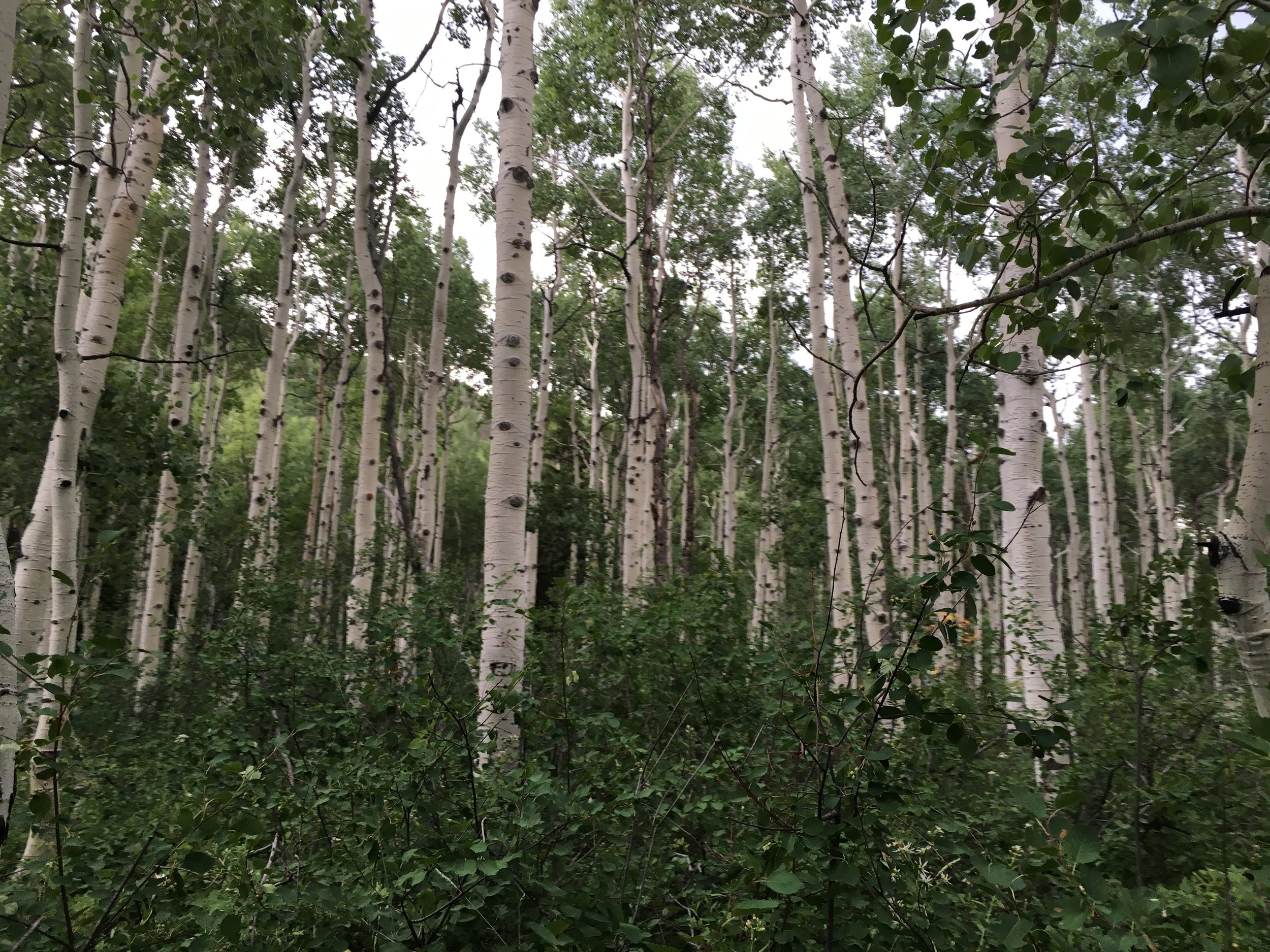 Aspens. Wow. Upon closer inspection, many of them have initials carved in them--and they whisper. They sound like waters. Supposedly King David would hang his harp in the trees and go to sleep listening to the strings played by the nght breeze.
