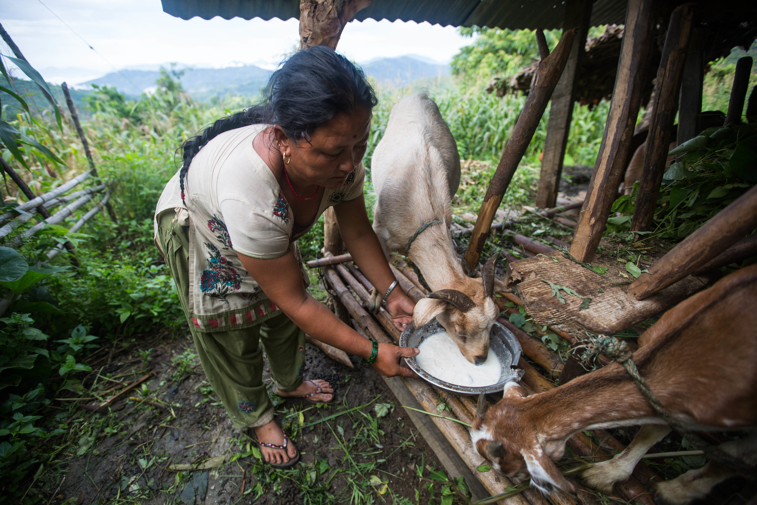 Chari feeds her goats at her home in Gorkha, Nepal, on Aug. 1, 2016.