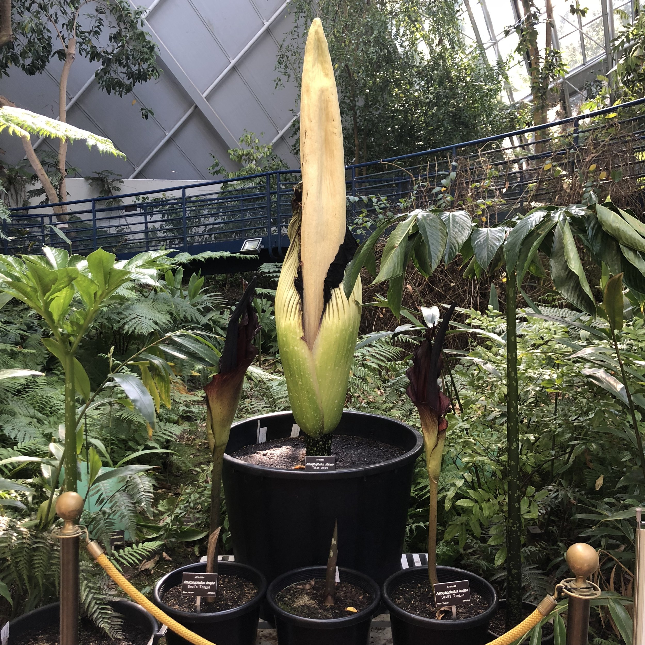 Amorphophallus titanum, aka the titan arum aka the corpse flower. Hold your nose because this plant stinks!