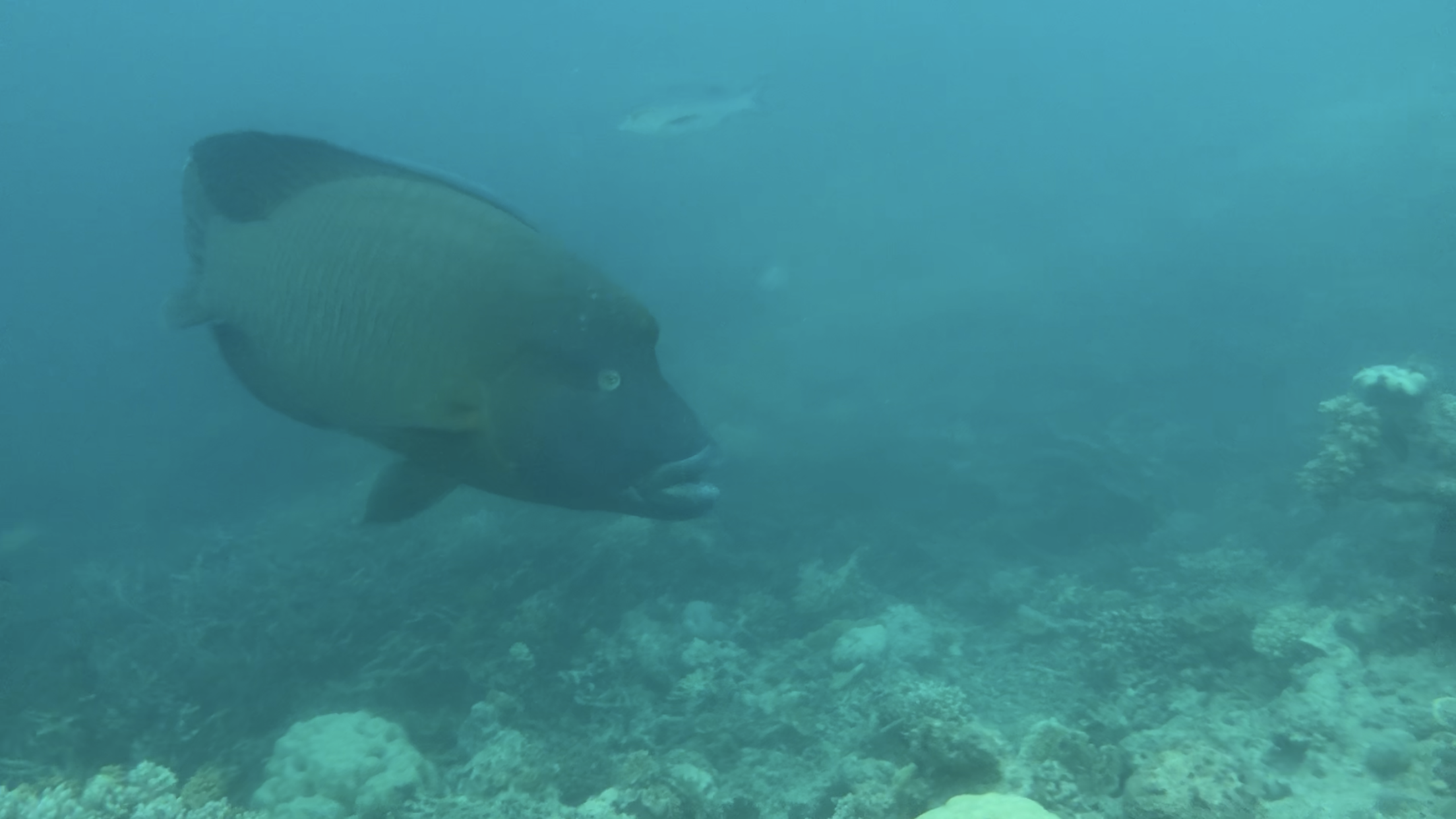 Biggest fish I have ever swam with!