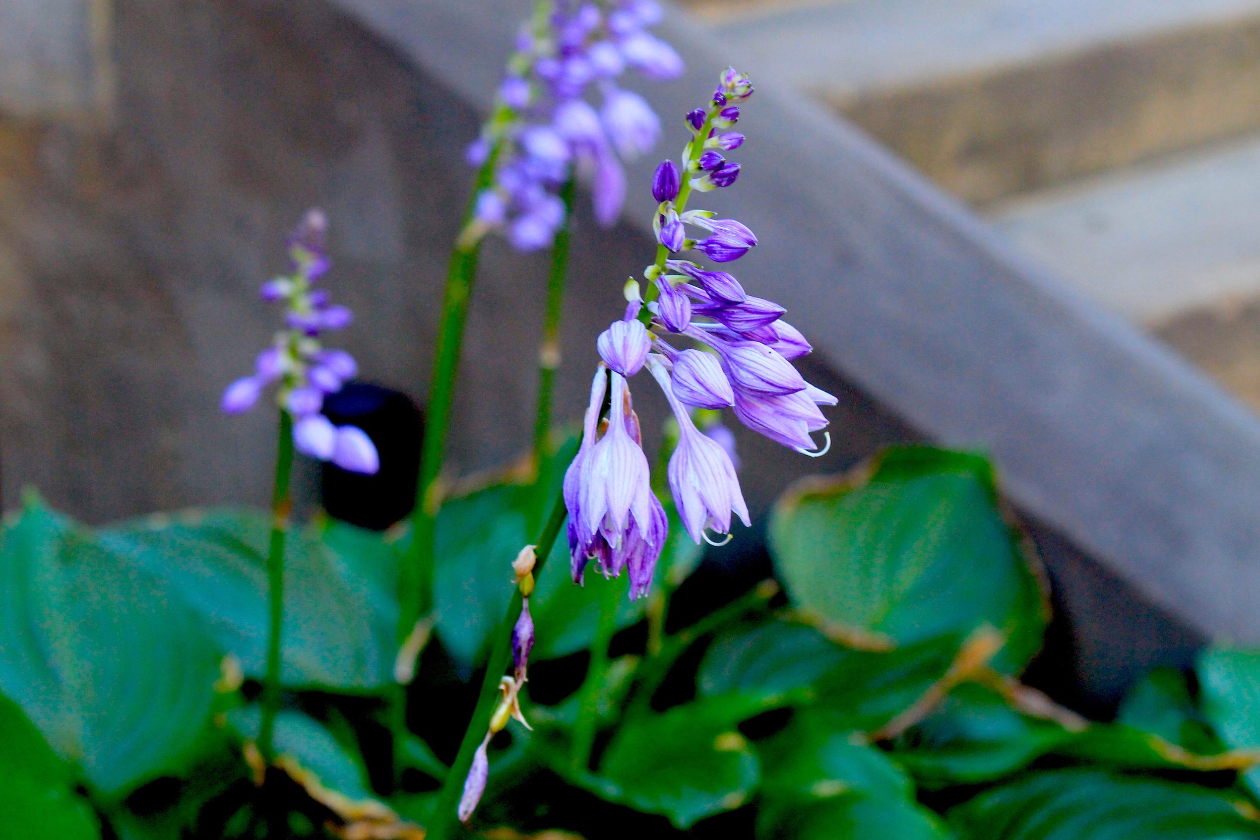 Violet Bulbs