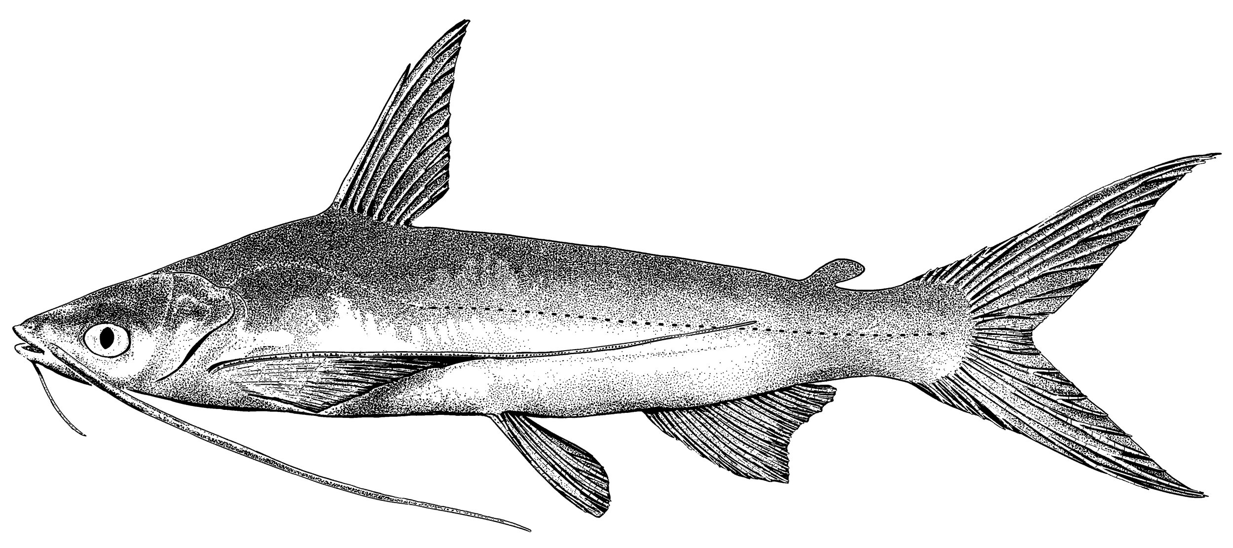 CHIHUIL–Ink on paper. Illustration of  Bagre panamensi s, a catfish.