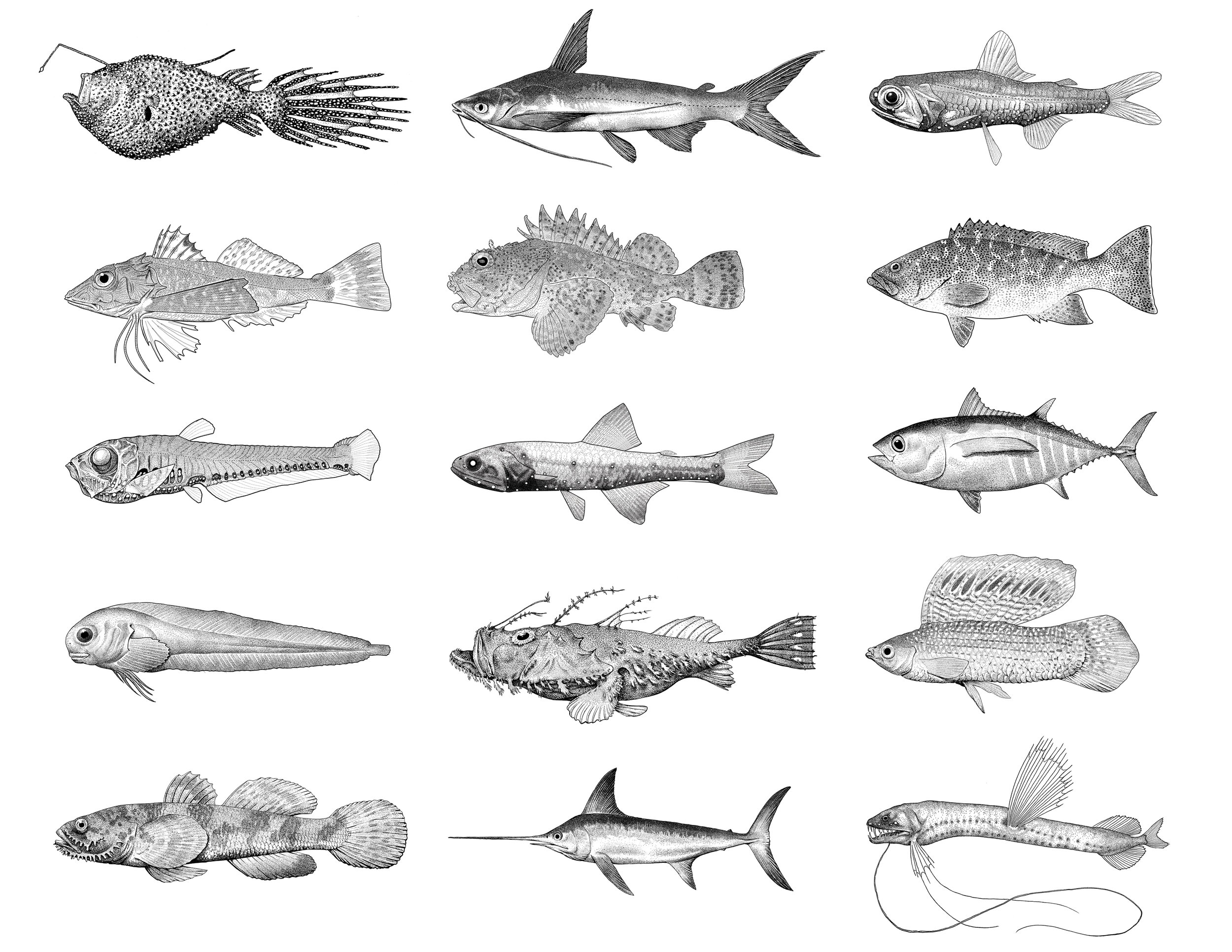 FISH OF CALIFORNIA–Ink on paper. IllustrationS depicting various southern California fish species. For a more comprehensive collection of drawings,  click here.