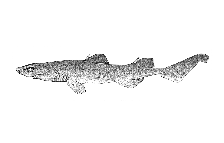 Combtooth Dogfish