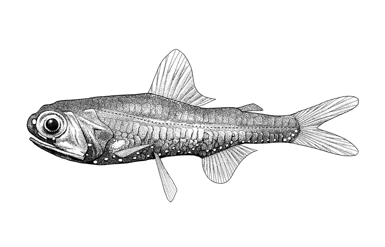 California Headlightfish
