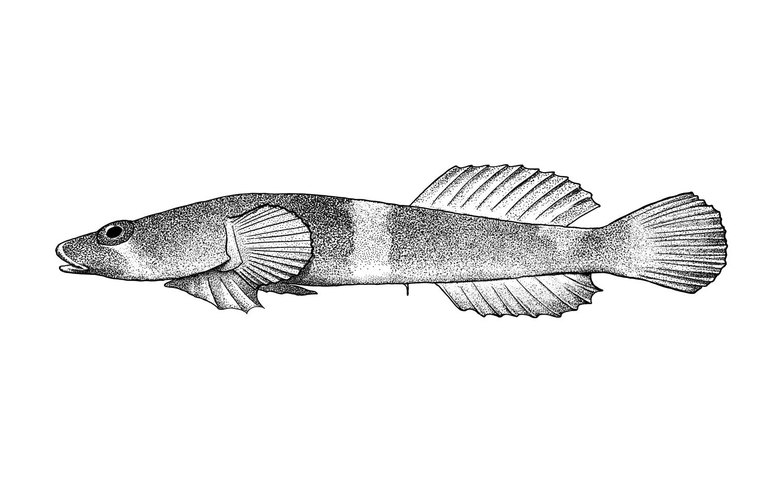 California Clingfish