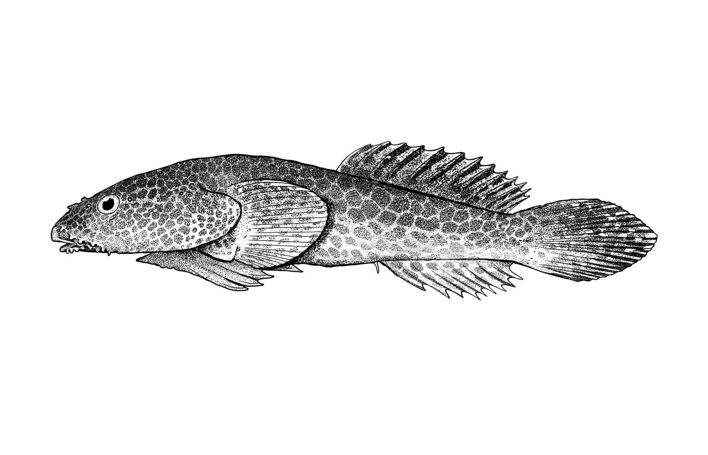 Bearded Clingfish