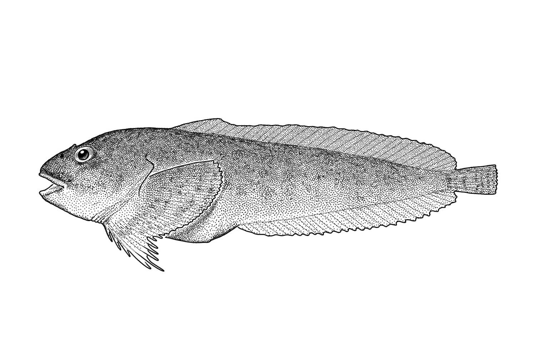 Slipskin Snailfish