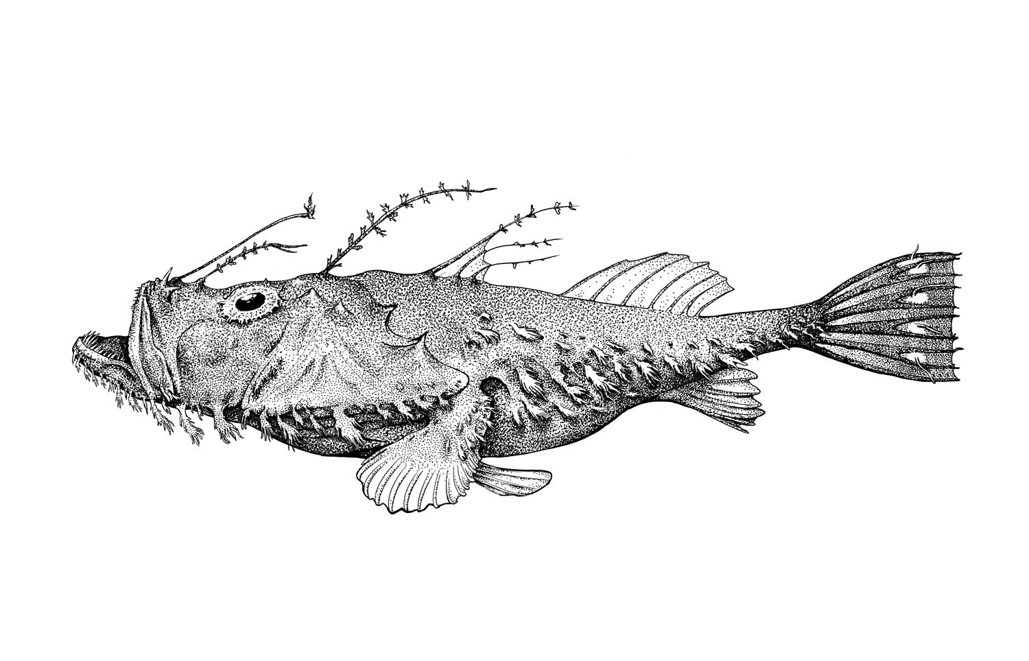 Spotted Tail Goosefish