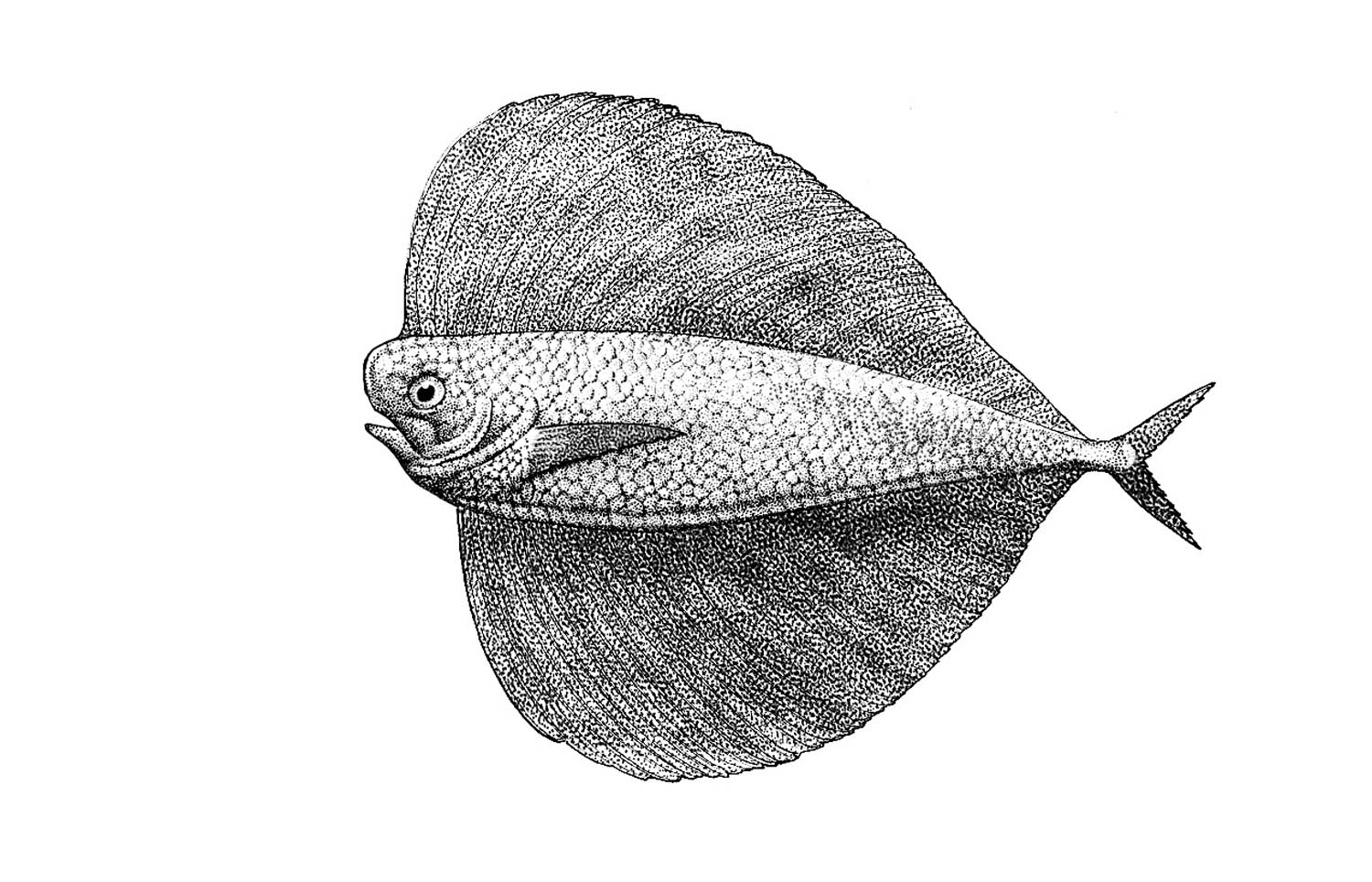 Pacific Fanfish