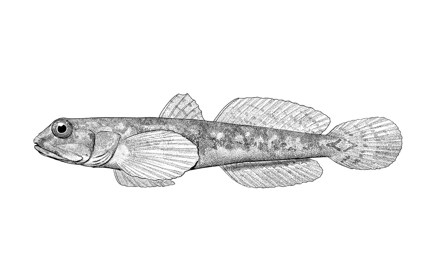 Shadow Goby
