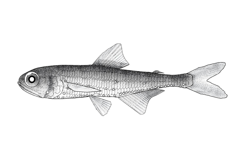 Bigfin Lanternfish