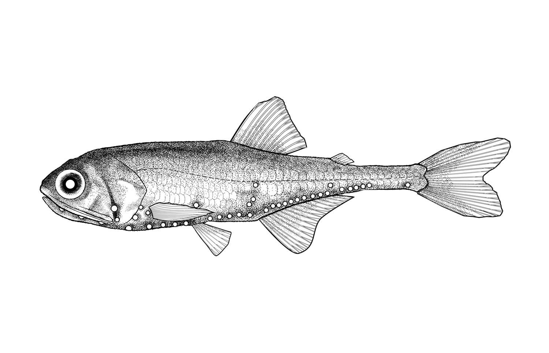Blue Lanternfish