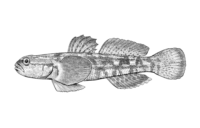 Chameleon Goby