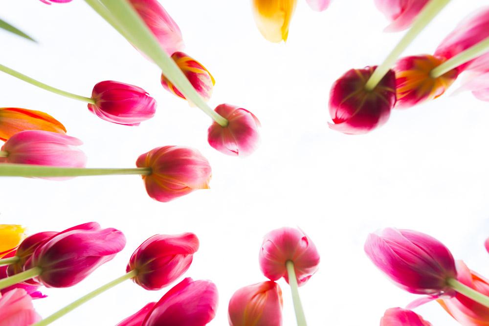 Tulips - Dave Valler