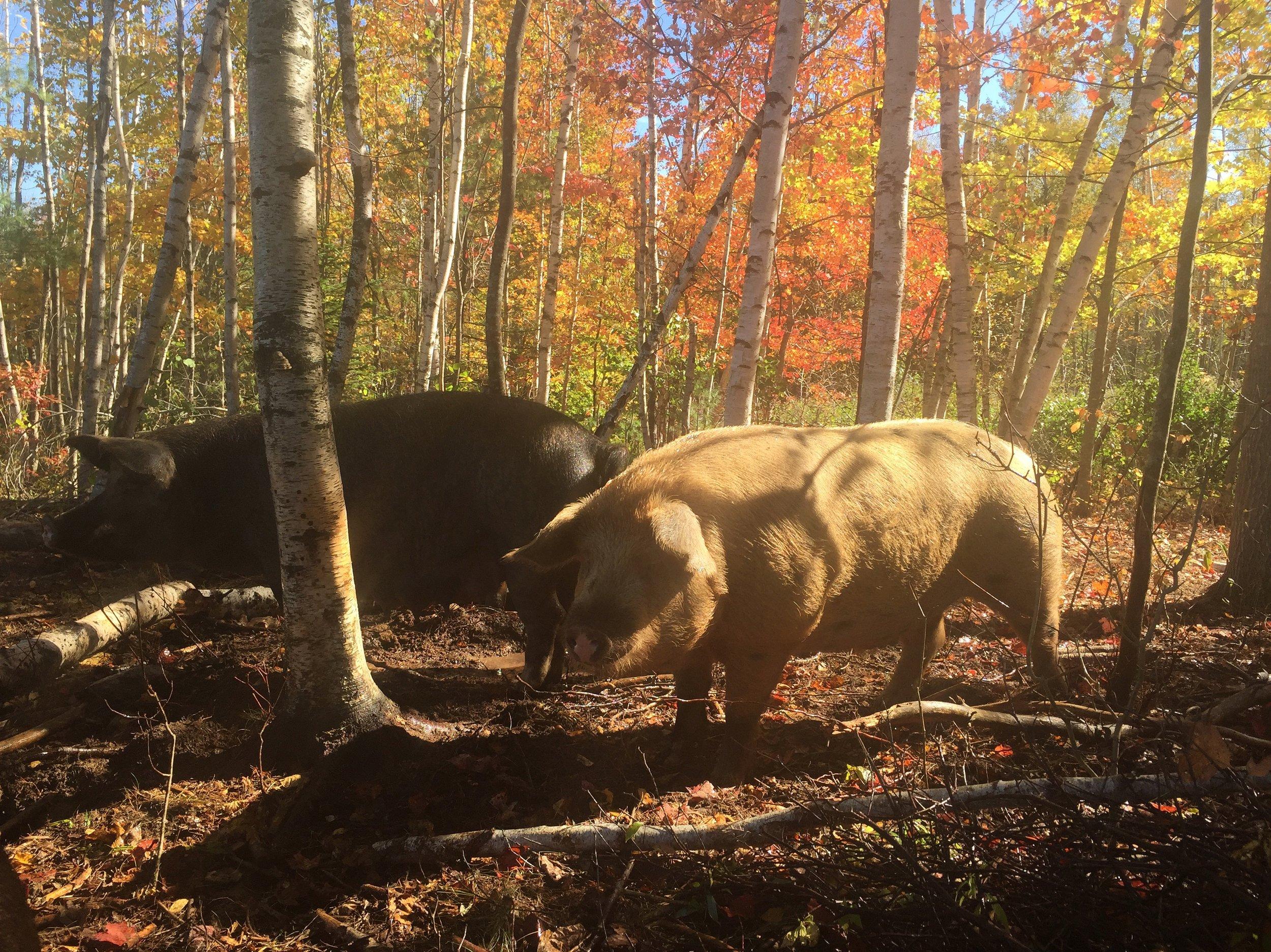 Pastured Pigs in Montville Maine