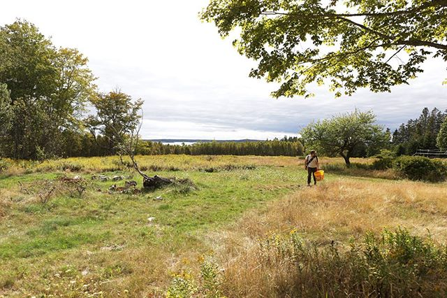 We spent a few days on Eagle Island harvesting apples earlier in the month. Here, Chris surveys the spread with North Haven visible in the background. All told, we brought in just under 60 bushels.