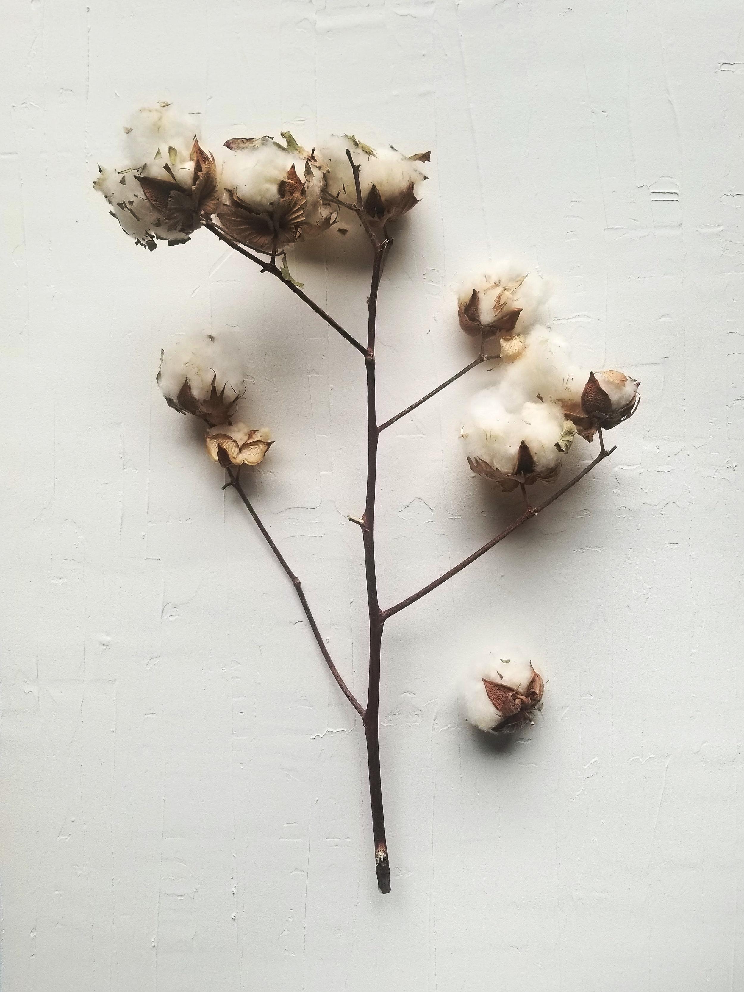 Scene 4 Cotton Stem Alone.jpg