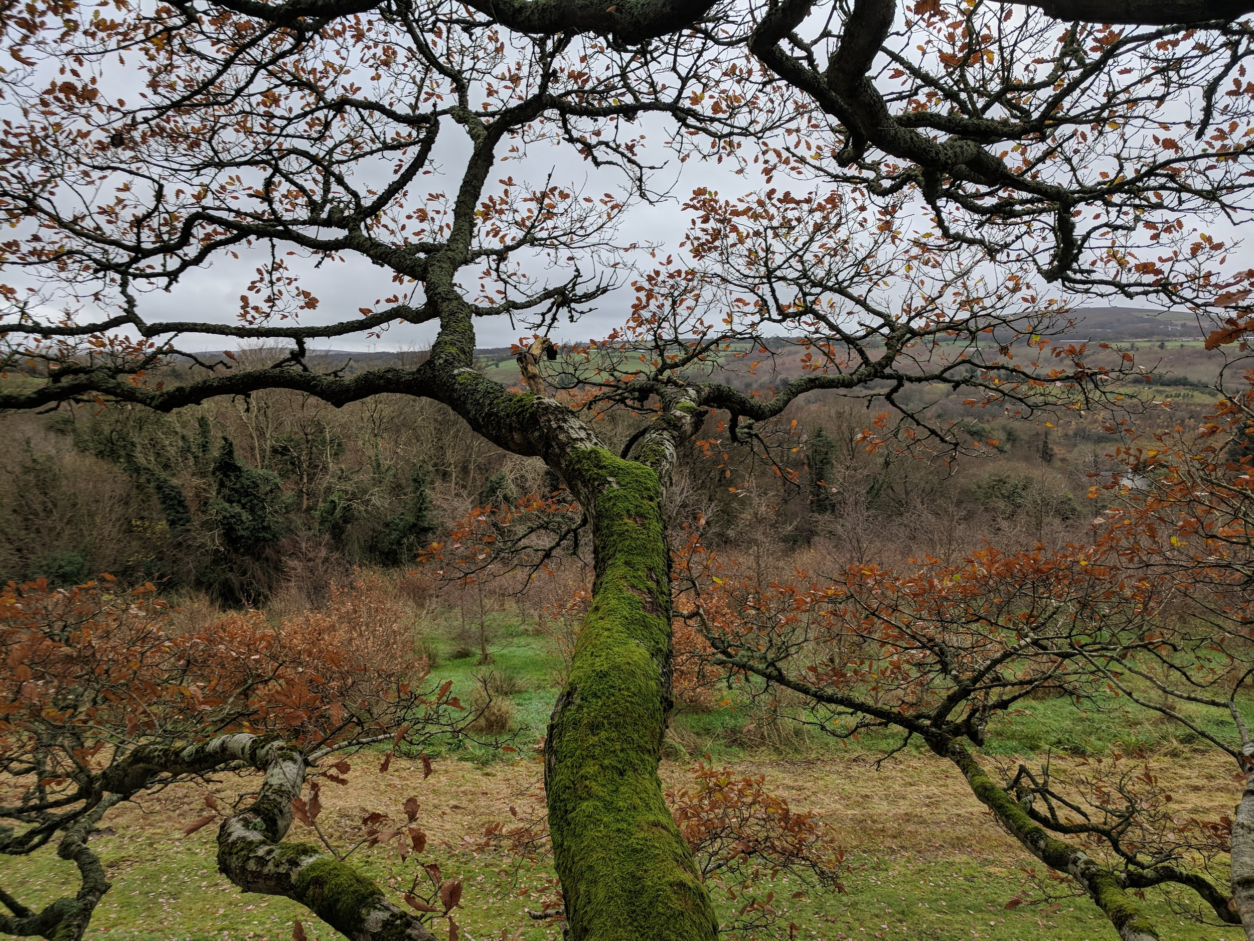 View from an Irish Oak (Quercus robur)